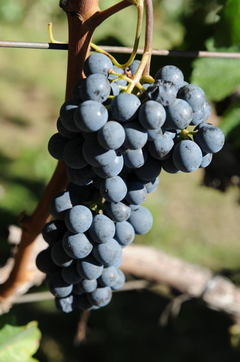 L'uva Lagrein