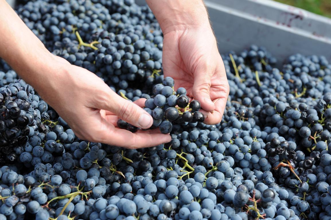 Il controllo dell'uva
