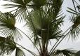 Palme in unserem Garten